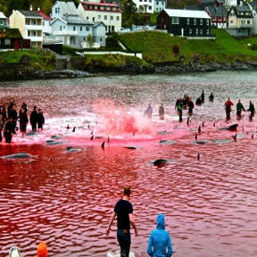 A Grindadráp, or whale hunt, under way.